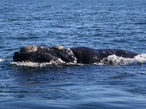 Southern_right_whale